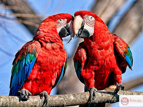 Попугаи. Особенности подражания речи по видам